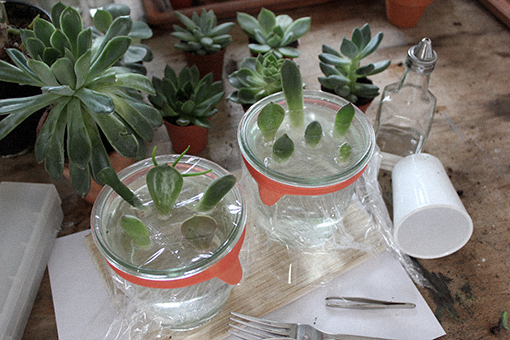 propagating succulents in water