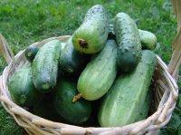 Огурец: сорт или гибрид