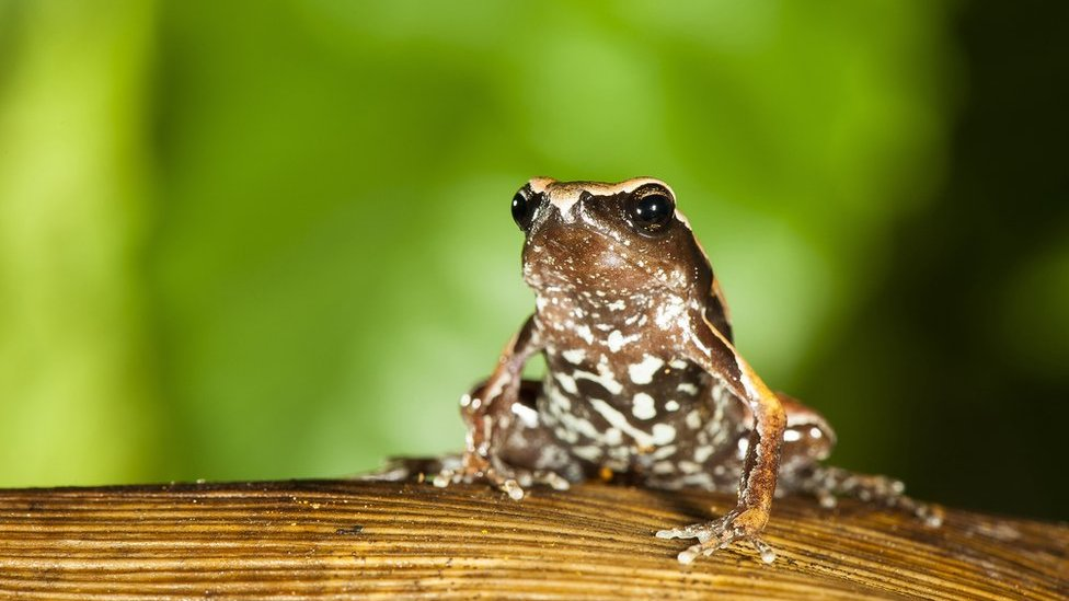 New 'mysterious' frog species discovered in India's Western Ghats
