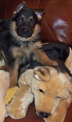 Liza von Highlander  Adorable German Shepherd Puppy